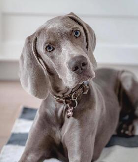 Weimaraner puppies for sale san diego